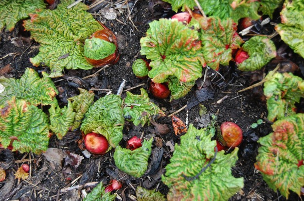 srx rhubarb